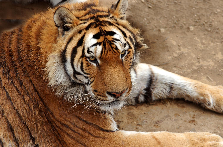 动物园老虎随拍