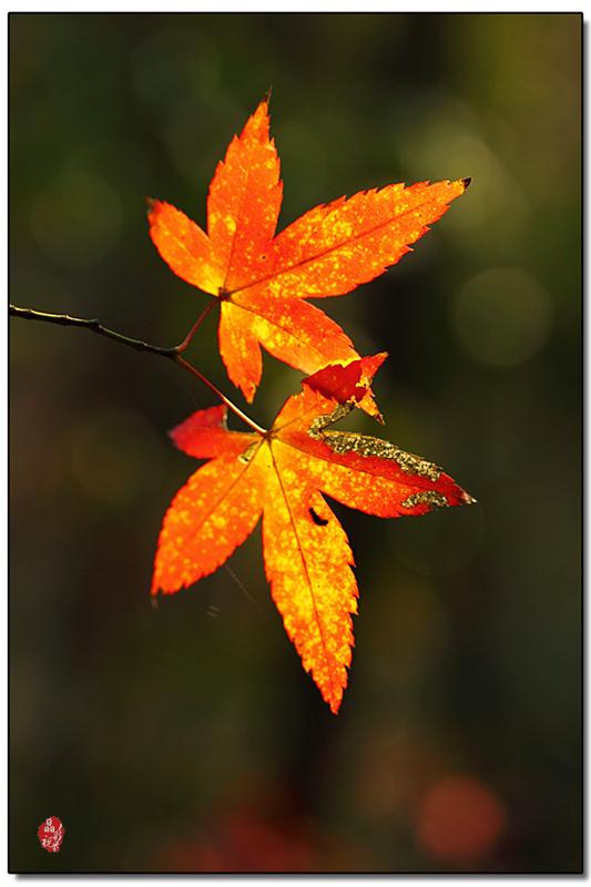 彩铅手绘枫树