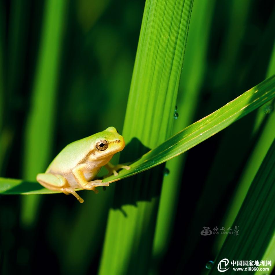 稻田里的小青蛙