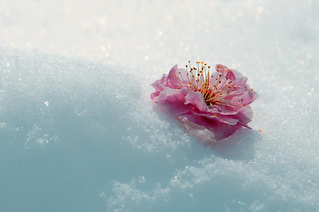 春天里的梅花雪景图