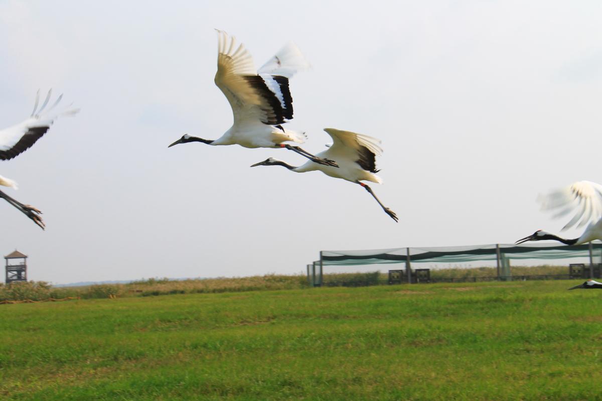 一个真实的故事——丹顶鹤自然保护区(盐城)