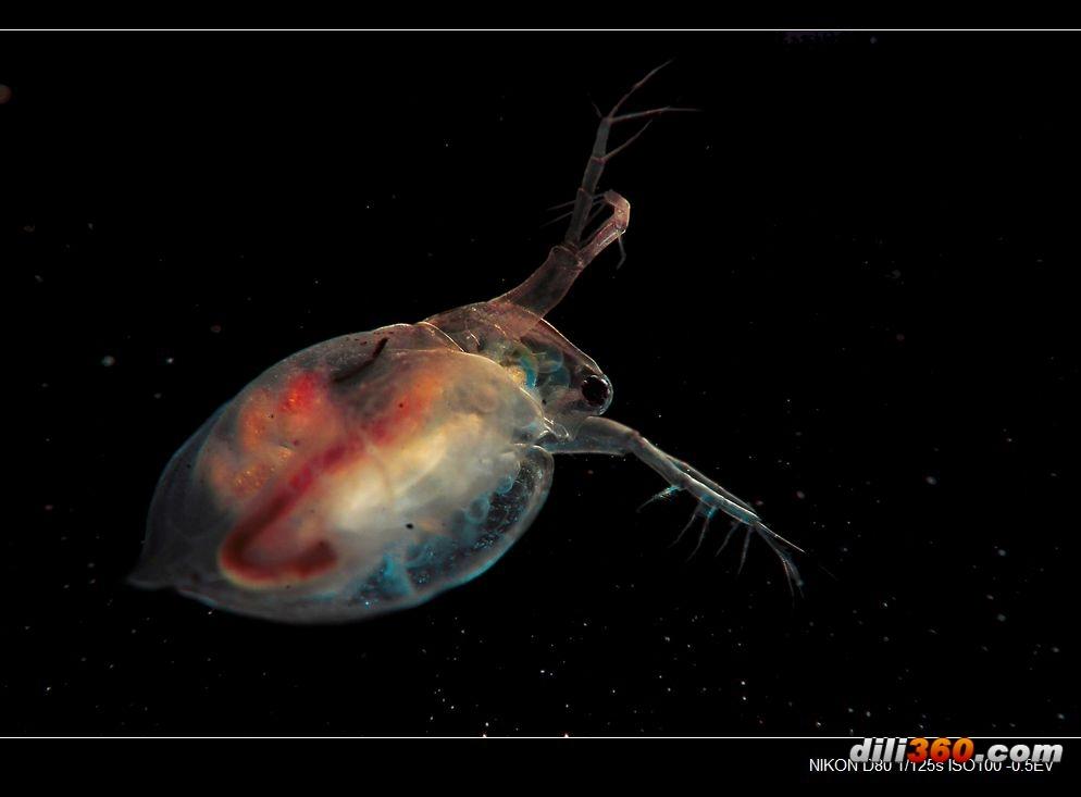 水蚤-鱼虫子-原创摄影-摄影天地