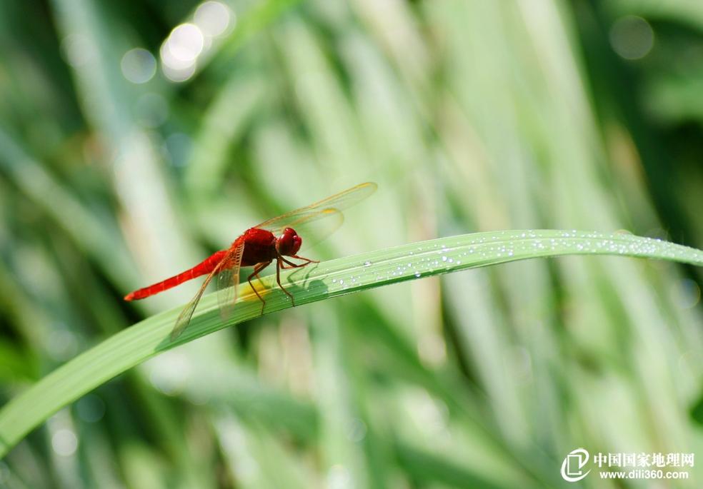 飞机的鼻祖-蜻蜓,无脊椎动物