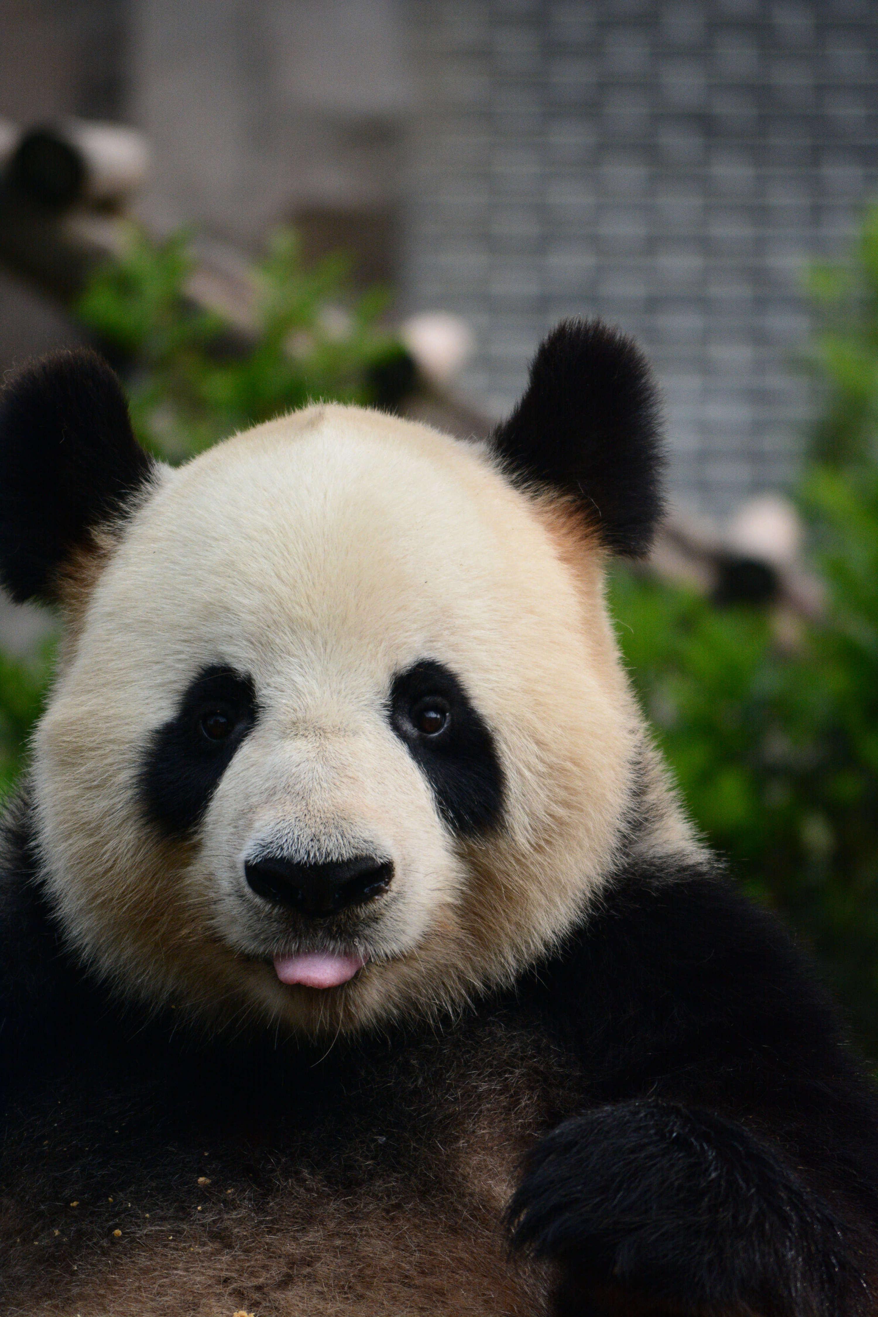 印象成都之萌萌哒大熊猫