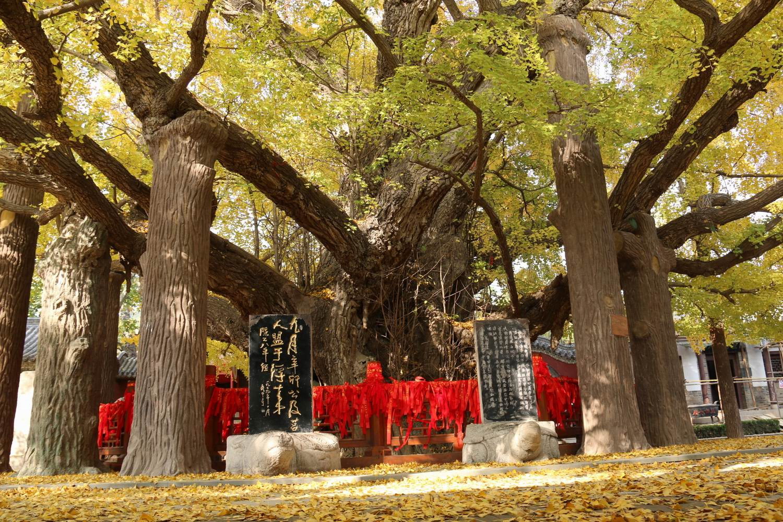 来山风景区内  标签: 旅游景点 风景区  天下银杏第一树共多少人浏览