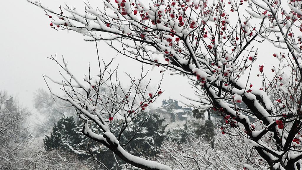南京市梅花山雪景组图