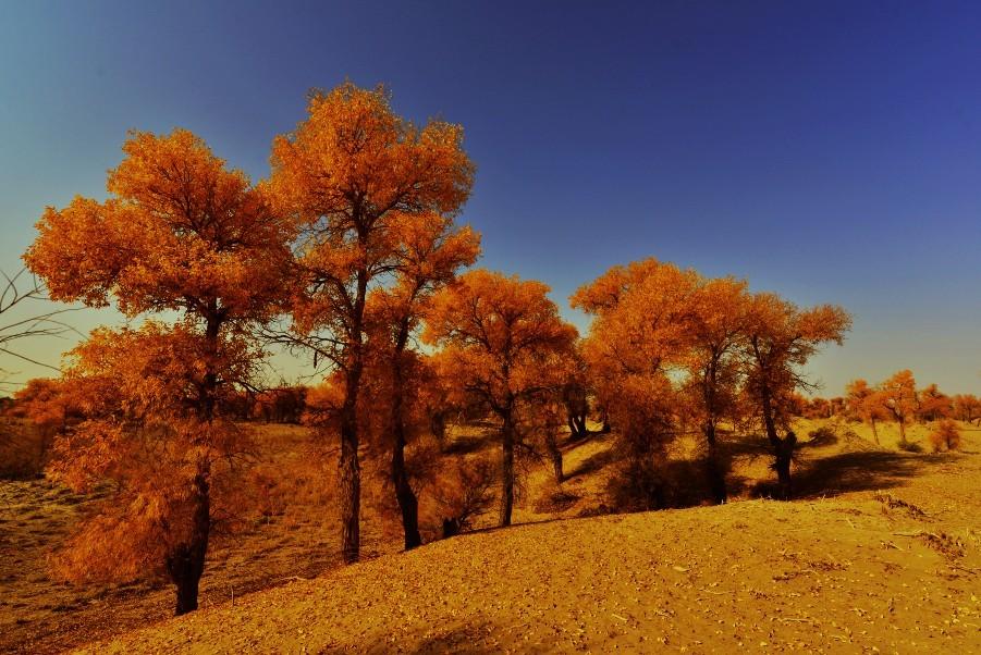 新疆塔里木河胡杨