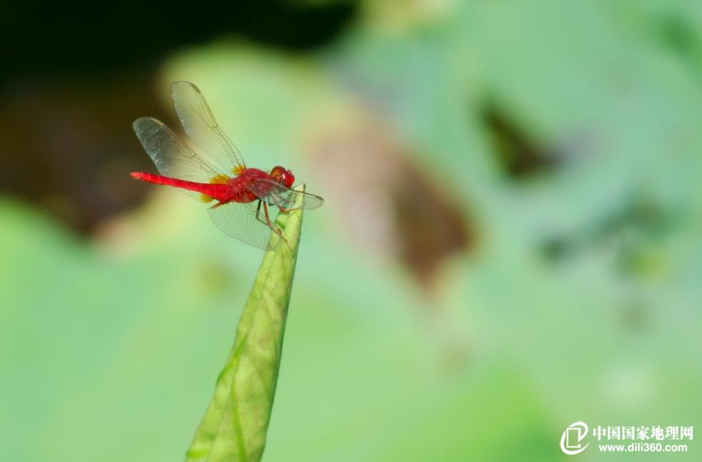 蜻蜓,无脊椎动物,昆虫纲,蜻蜓目,差翅亚目昆虫的通称。一般体型较惖大,翅长而窄,膜质,网状翅脉极为清晰。视觉极为灵敏,单眼3个;触角1对,细而较短;咀嚼式口器。腹部细长、扁形或呈圆筒形,末端有肛附器。足细而弱,上有钩刺,可在空中飞行时捕捉害虫。稚虫水虿,在水中用直肠气管鳃呼吸。一般要经11次以上蜕皮,需时2年或2年以上才沿水草爬出水面,再经最后蜕皮羽化为成虫。稚虫在水中可以捕食孑孓或其他小型动物,有时同类也相残食。成虫除能大量捕食蚊、蝇外,有的还能捕食蝶、蛾、蜂等害虫,实为益虫。 蜻蜓可分为蜻蜓类的差翅亚