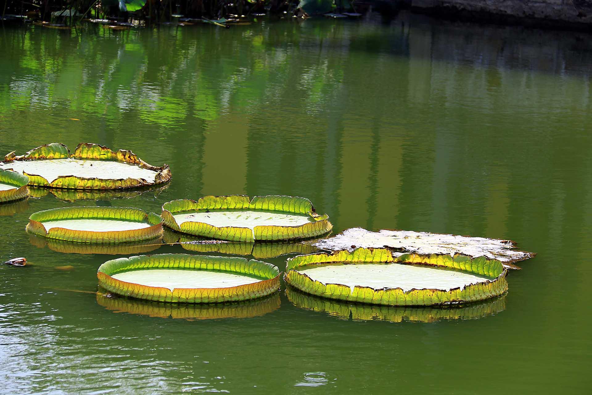 大王莲-此片十一黄金周拍于无锡太湖鼋头渚风景区