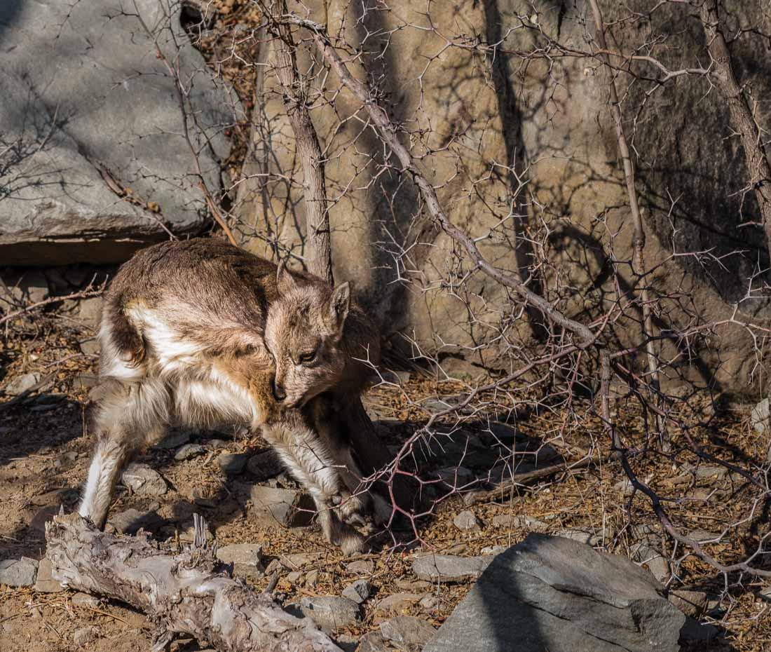 宁夏贺兰山上的野生动物——岩羊